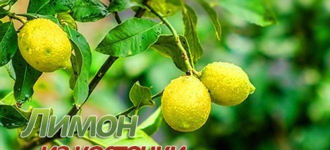 Выращиваем лимон из косточки дома