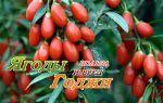 Польза и вред ягоды годжи
