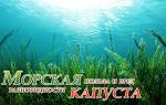 Морская капуста: лечебные свойства и польза