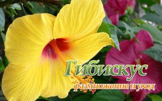 Уход и размножение Гибискуса (китайская роза)
