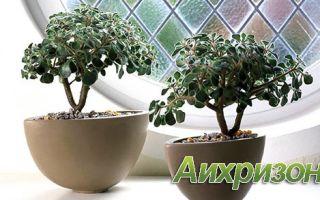 Аихризон: фото растения и уход в домашних условиях