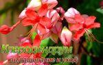Клеродендрум Томпсона — выращивание и уход в домашних условиях