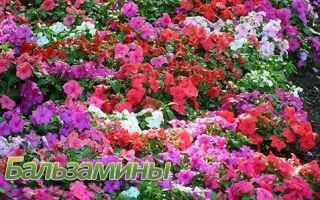 Домашний уход за комнатными и садовыми бальзаминами