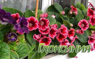 Выращивание и уход за глоксинией в домашних условиях