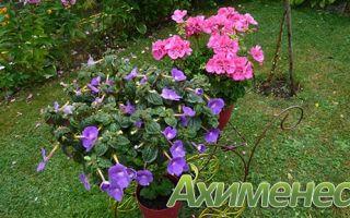 Ахименесы — уход и выращивание в домашних условиях