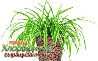 Польза, выращивание и уход за хлорофитумом