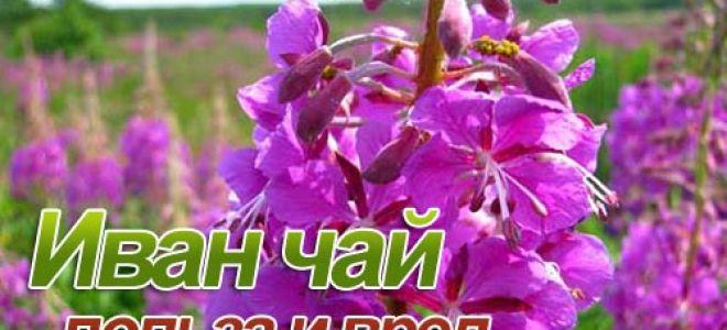 Иван чай: целебные свойства, вред и правила применения
