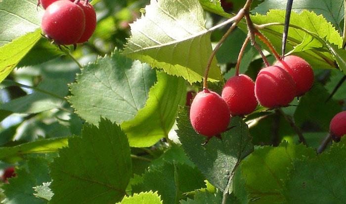 Боярышник пятипестичный - фотография плодов на кусту