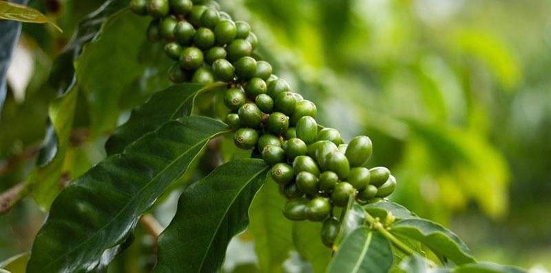 Зеленый кофе на ветке