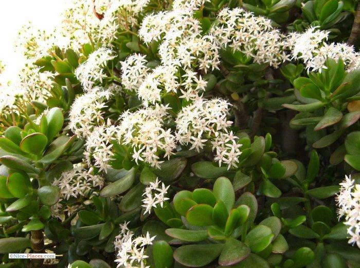 Цветение денежного дерева