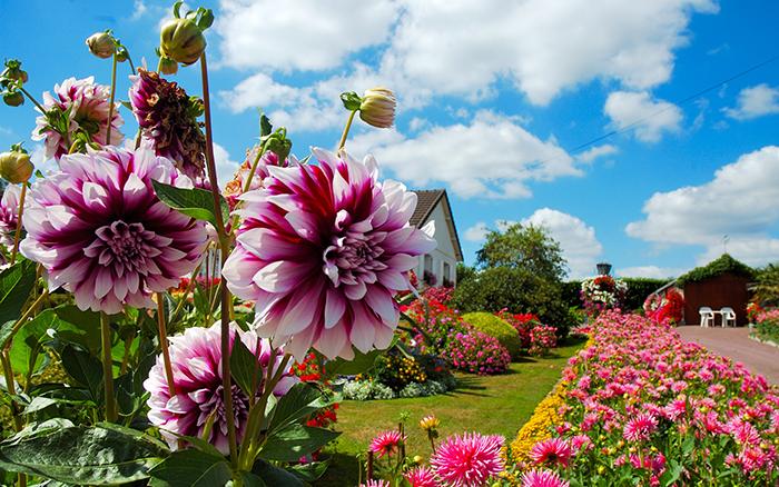 Фото георгинов на садовом участке