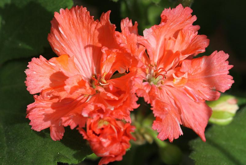 Фото тюльпановидной пеларгонии