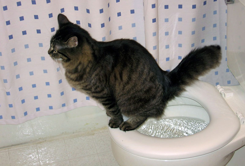Приучить котенка или кошку к унитазу не так то просто