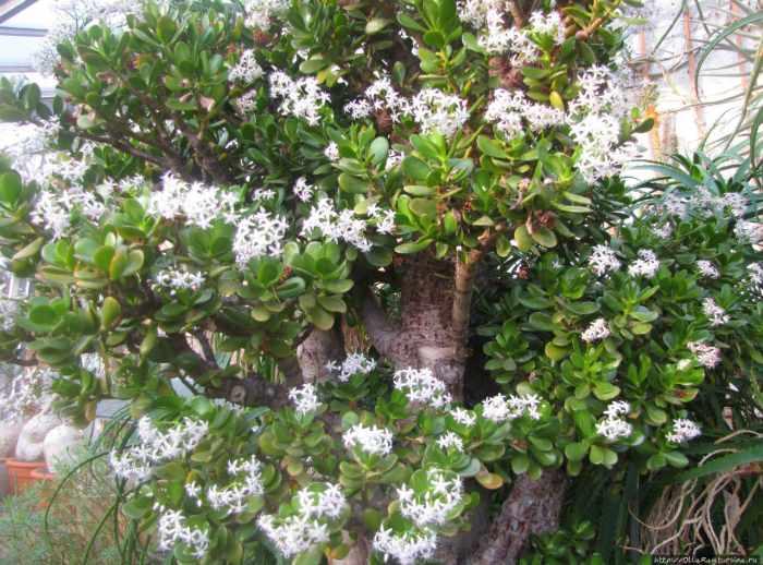 На фото Цветущий Аихризон
