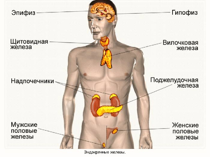 Расположение желез в человеческом теле