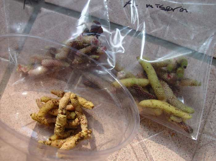 Зимнее хранение корневищ ахименесов, ризомы в пакетах