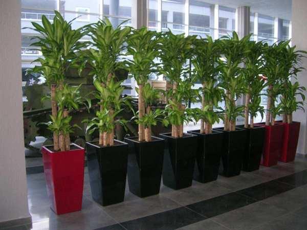 Пальмовидная форма драцены
