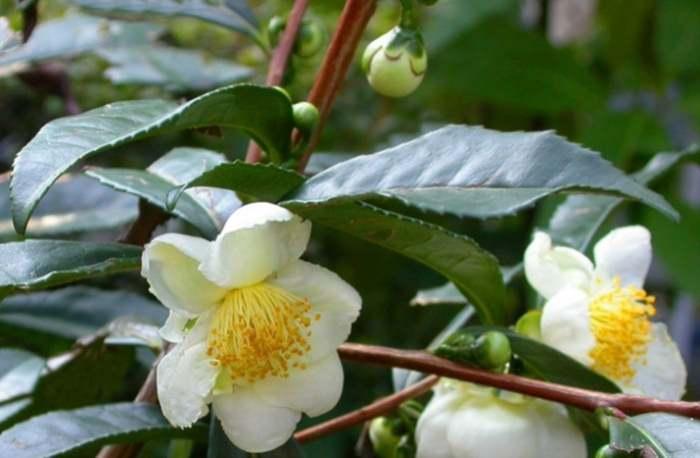 Цветки китайской кмелии