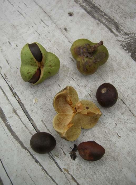 Семена камелии китайской