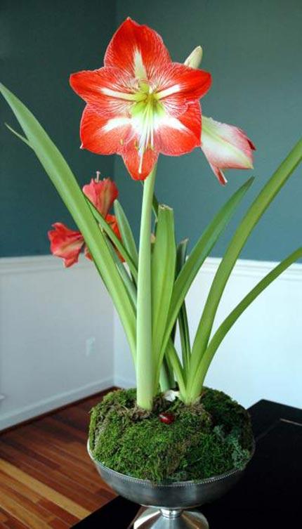 Луковичные цветы уход в домашних условиях фото 703