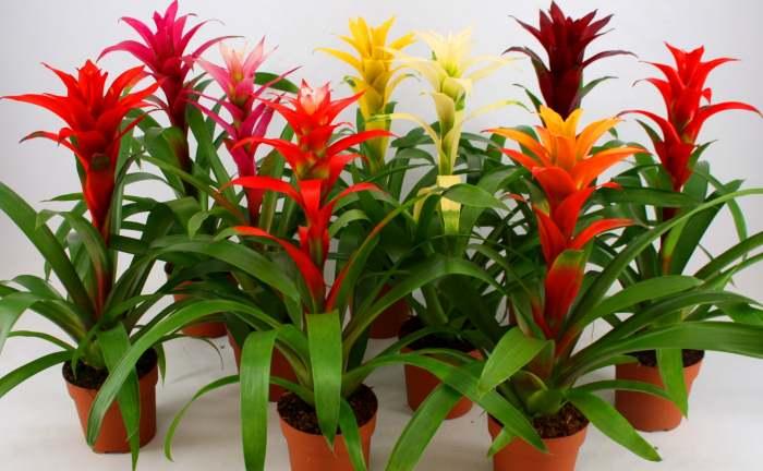 Гусмания названа в честь ботаника из Испании А. Гусмана