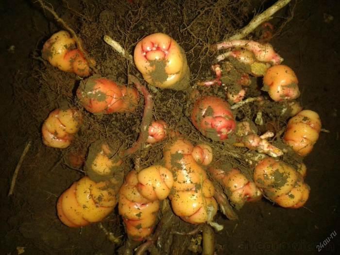 На фото белые, желтоватые и фиолетовые клубни кислицы с отростками, которые напоминают картофельные, но отличаются от них цилиндрической формой