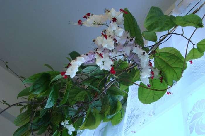 Цветущий клеродендрум Томпсона