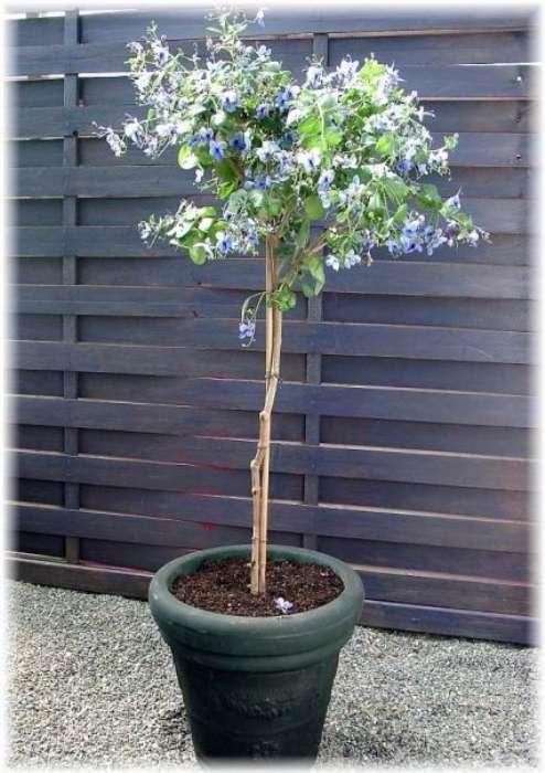 Угандийский – штамбовое дерево