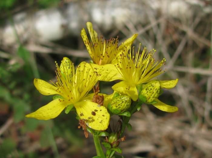 На фото зверобой пятнистый, растение обитает в лесах, между зарослями кустарников, по берегам водоёмов и на лесных полянах