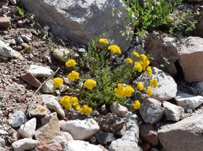 Так выглядит зверобой шероховатый, который растёт на каменистых склонах или в горных степях