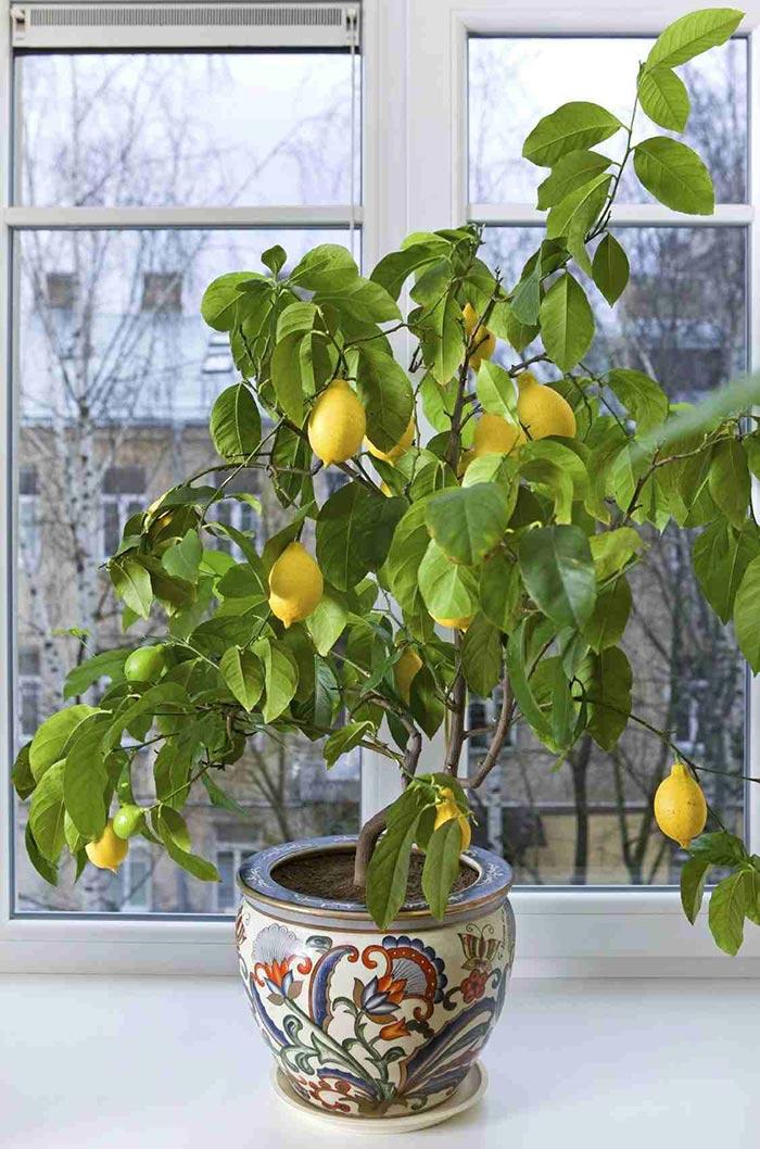 Лимон, который вырастили из косточки